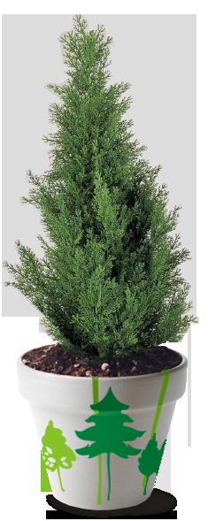 Лиственные растения Купить саженцы лиственных растений в